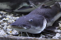 Wels catfish Royalty Free Stock Images