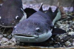 Wels catfish Stock Photo