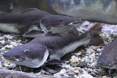 Wels catfish Royalty Free Stock Photo