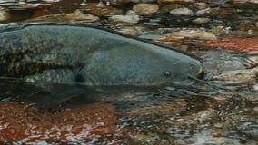 Wels suma Silurus montrous glanis w pięknej czystej rzece w Albi w południe Francja zdjęcie royalty free