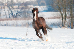 Welse bruine de looppasgalop van de poneyhengst vooraan Stock Foto's