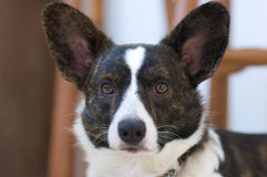 Welse Cardigan Corgi Stock Afbeelding