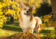Welse Corgi Stock Afbeelding