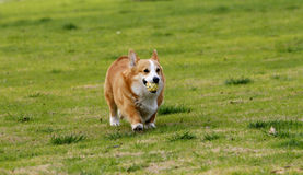 Welse Corgi Royalty-vrije Stock Fotografie