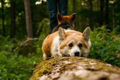 Welse Corgi Pembroke_29 Stock Foto's