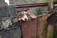 Welse herdershond die over de poort van haar bijgebouw turen Stock Afbeeldingen