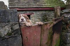 Welse herdershond die over de poort van haar bijgebouw turen Royalty-vrije Stock Foto's