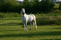 Welse poney royalty-vrije stock afbeelding