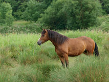 Welse Poney stock fotografie