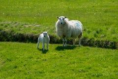 Welse schapen met lam royalty-vrije stock afbeeldingen