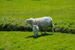 Welse schapen met lam stock afbeelding