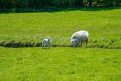 Welse schapen met lam stock afbeeldingen