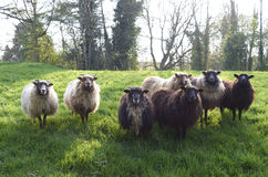 Welse sheeps in Brecon bebakent Nationaal Park Stock Foto