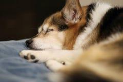 Welse snel in slaap Terriër Royalty-vrije Stock Fotografie