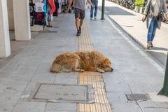 Welse snel in slaap Terri?r Bruine verlaten dierlijke slaap in het midden van stoep royalty-vrije stock afbeelding