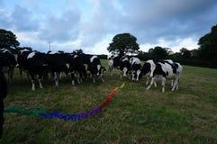 Welse vriendschappelijk en zeer nieuwsgierige koeien Royalty-vrije Stock Afbeelding