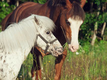 Welsh and appaloosa pony in the meadow Stock Photos