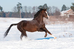 Welsh brown pony stallion runs gallop, winter Stock Photography