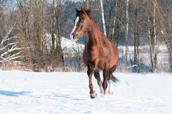 Welsh brown pony stallion runs trot in front Stock Images