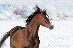 Welsh brown pony and wind in winter. Brown Welsh pony stallion portrait in winter time Royalty Free Stock Photography