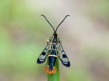 The Welsh Clearwing. (Synanthedon scoliaeformis) on a grass stock photography