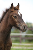 Welsh Cob Foal Looking At You Stock Image