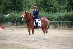 Welsh Cob pony Stock Photos