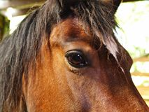 Welsh Cob Pony. Bay Welsh Cob Pony Horse Royalty Free Stock Images
