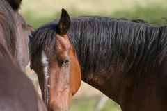 Welsh Cob pony - candid portrait Royalty Free Stock Photography