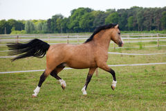 Welsh Cob pony Royalty Free Stock Photography