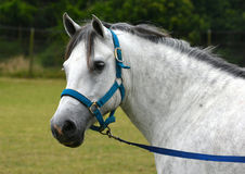Welsh cob pony portrait Stock Photo