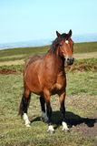 Welsh cob pony Royalty Free Stock Images