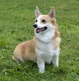 Welsh Corgi Stock Image