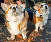 Welsh Corgi Cardigan Royalty Free Stock Photography
