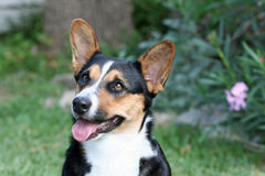 Welsh Corgi (Cardigan) Royalty Free Stock Photo