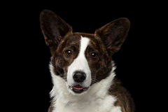 Welsh Corgi Cardigan Dog on Isolated Black Background Royalty Free Stock Photography