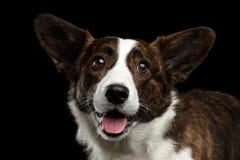 Welsh Corgi Cardigan Dog on Isolated Black Background Royalty Free Stock Photos