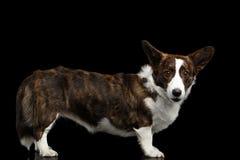 Welsh Corgi Cardigan Dog on Isolated Black Background Stock Photography