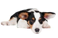Welsh corgi cardigan dog. Isolated on white Stock Photo