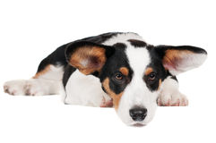 Welsh corgi cardigan dog Stock Photo