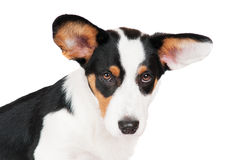 Welsh corgi cardigan dog Stock Photography