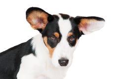 Welsh corgi cardigan dog. Isolated on white Stock Photography