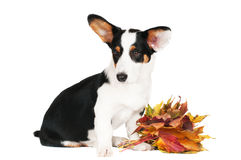 Welsh corgi cardigan dog Royalty Free Stock Image