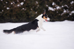 Welsh corgi cardigan dog outdoors in winter Royalty Free Stock Image