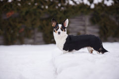 Welsh corgi cardigan dog outdoors in winter Stock Photography
