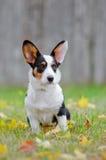 Welsh corgi cardigan dog portrait outdoors Royalty Free Stock Photo
