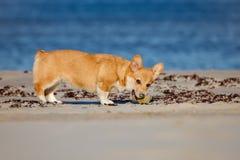 Welsh corgi cardigan dog porttrait Royalty Free Stock Image