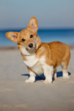 Welsh corgi cardigan dog porttrait Stock Images