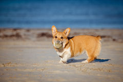 Welsh corgi cardigan dog running on a beach Royalty Free Stock Images