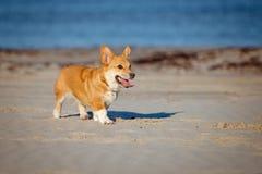 Welsh corgi cardigan dog running on a beach Stock Photos